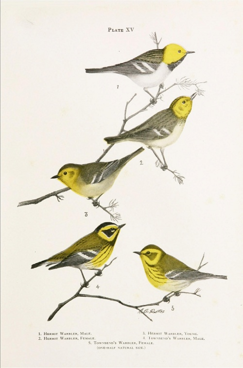 American ornithologist, illustrator and artist Louis Agassiz Fuertes (1874-1927) (441 работ)