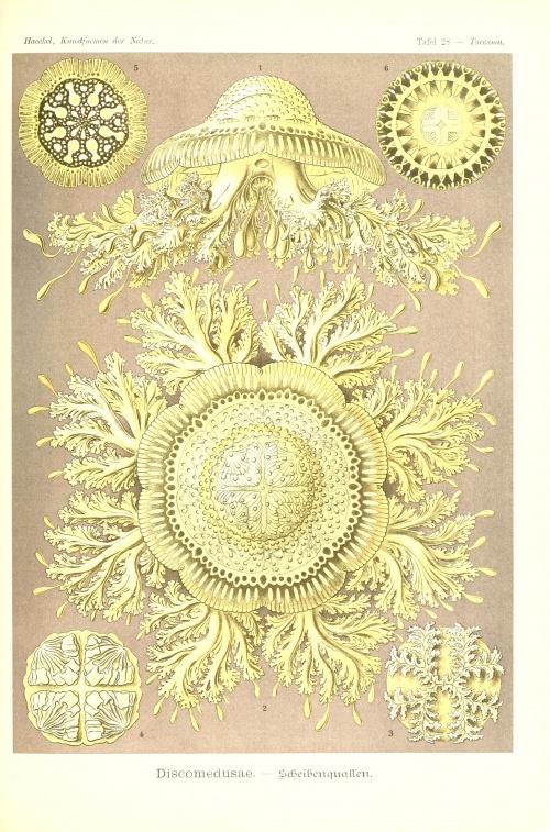 Kunstformen der Natur (1904) (55 работ) (1 часть)