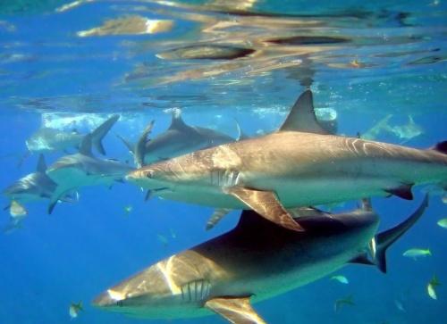 Акулы (42 фото)