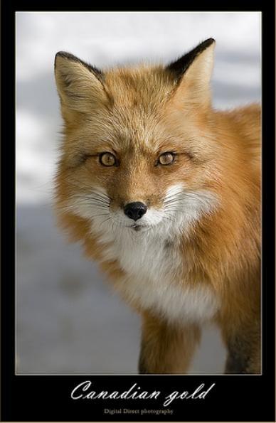 Фотографии лис от Michel Roy (21 фото)