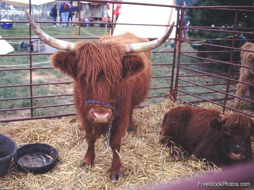 Коровы и быки (55 фото)