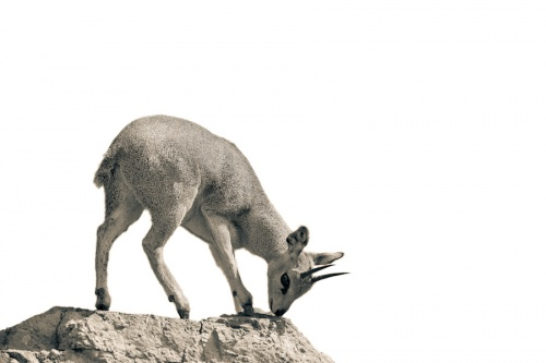Antelope - Антилопы (56 фото)