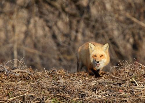 Лисы - Fox (122 фото)