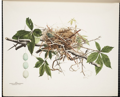 Jones Family - Illustrations of the Nests and Eggs of Birds of Ohio (1879-1886) (23 работ)