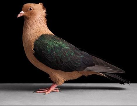 Эти прекрасные птицы голуби (26 фото)