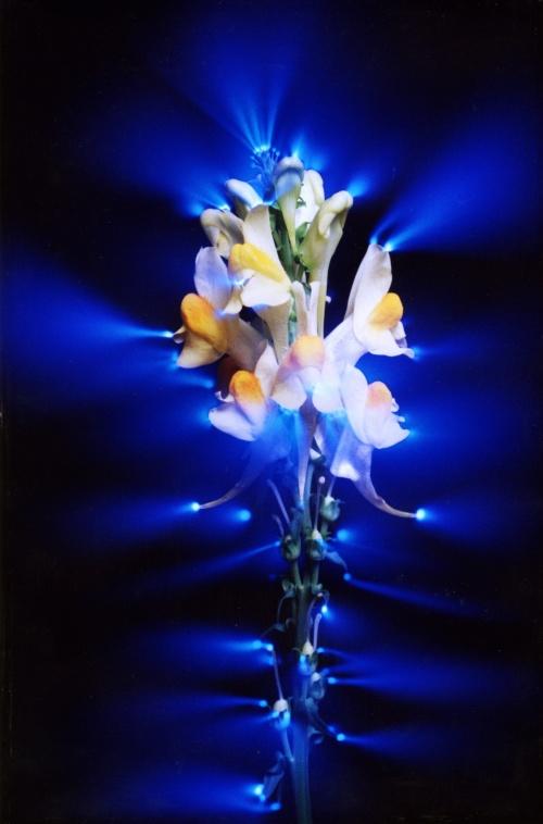 Эффект Кирлиан: фотографии аур растений (28 фото)