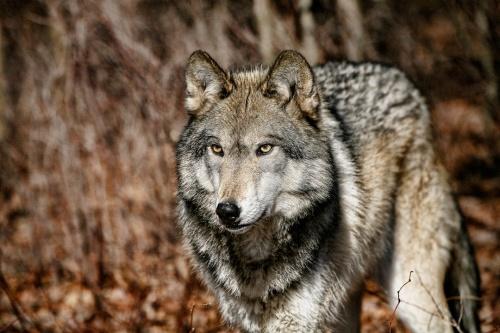 Фотограф Yinka Oyelese - Wolf (25 фото)