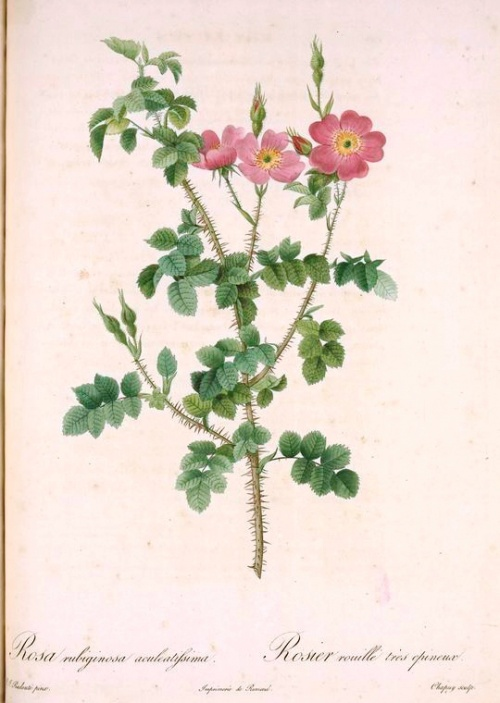 """Пьера-Жозефа Редуте (Pierre-Joseph Redoute). """"Рафаэль цветов"""" (167 работ)"""