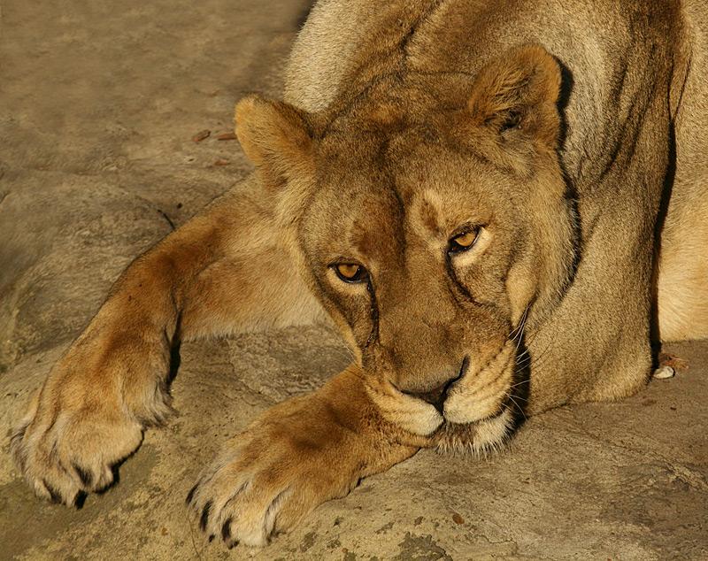 новом львица плачет картинки возникают редко, предотвращать