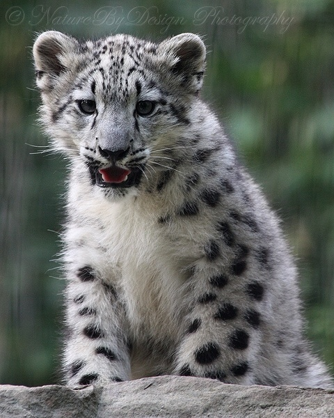 PhotoWorks by NatureByDesign - Snow Leopards (53 фото)
