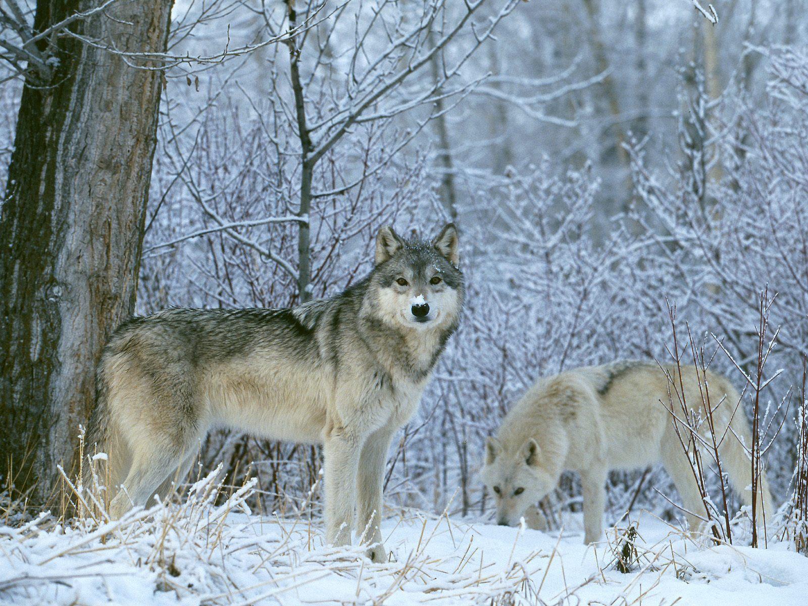 целом, значение волк в зимнем лесу фото видовой состав сравнительно