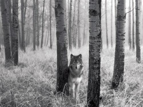 Фото волков... (24 фото)