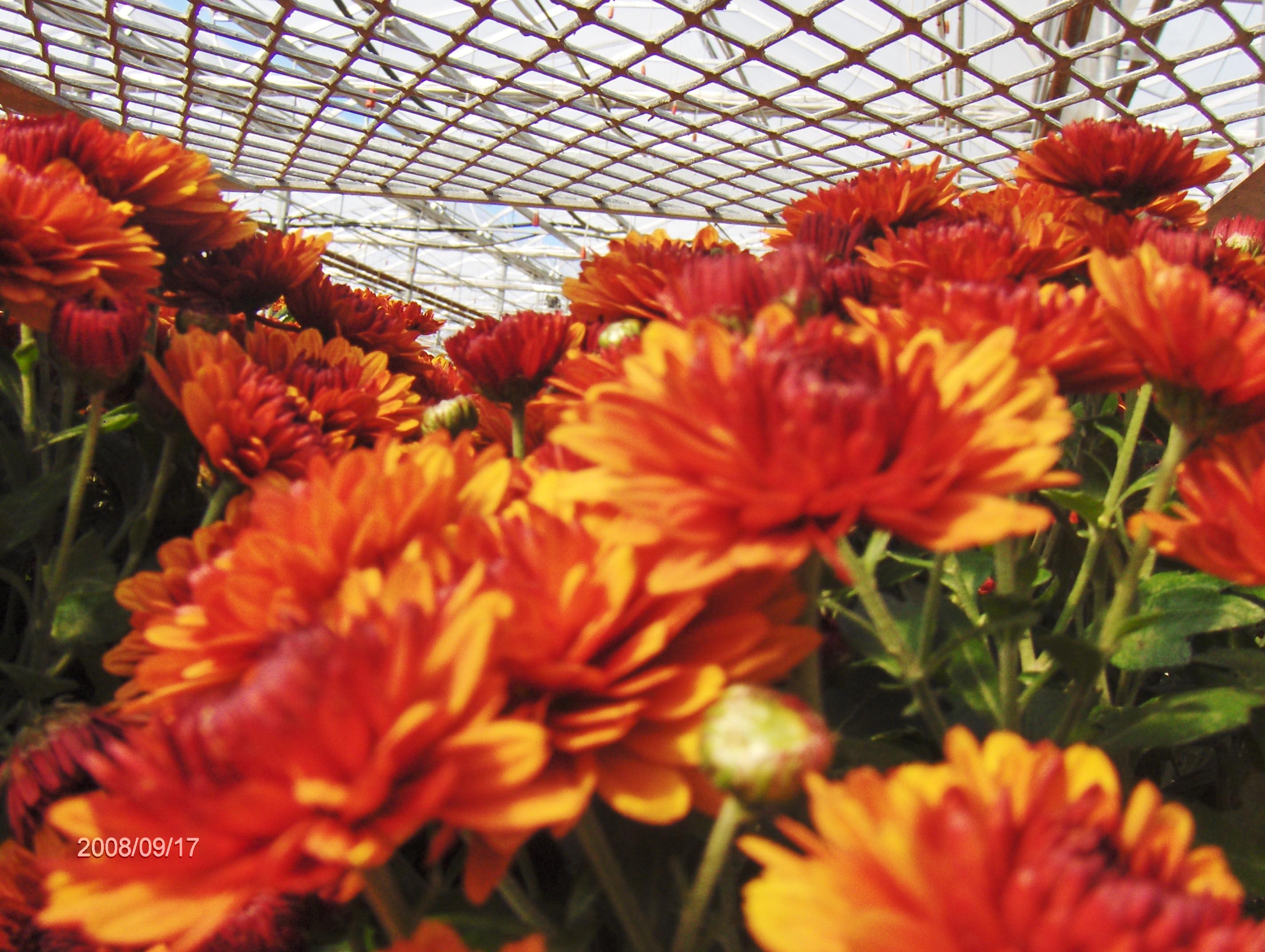 Выращивание хризантем в те 580