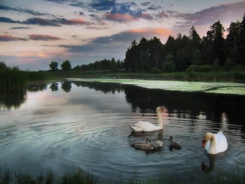 Фотограф Игорь Денисов - Лебеди (22 фото)