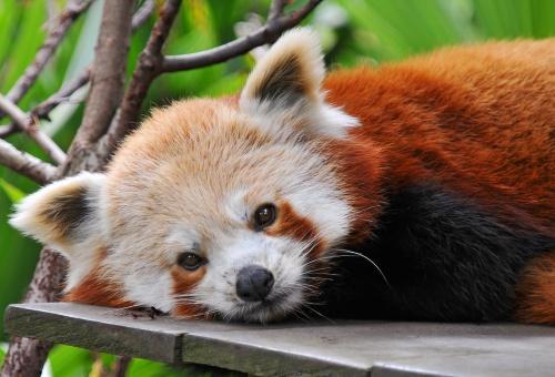 Красная панда: firefox во всей своей красе (25 фото)