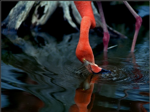 Розовый фламинго - Foto (32 фото)
