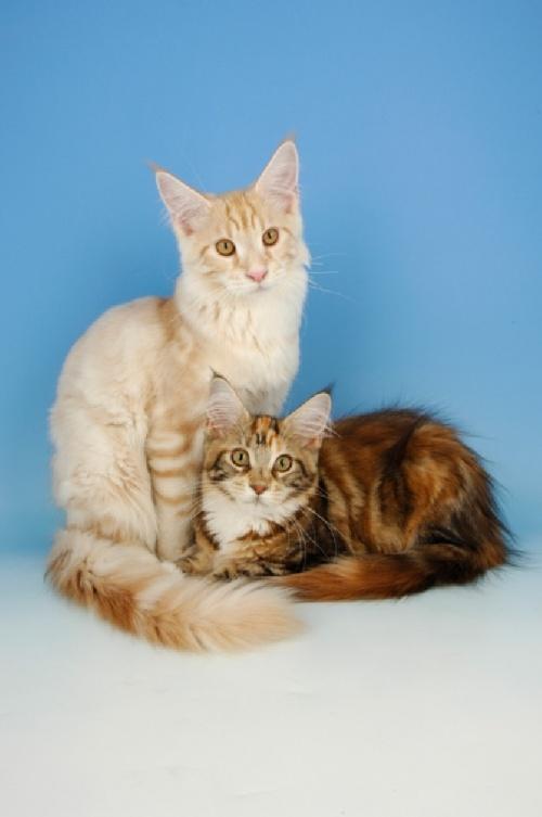 Кошки. Фотографии разных авторов. Мейн-кун (92 фото)