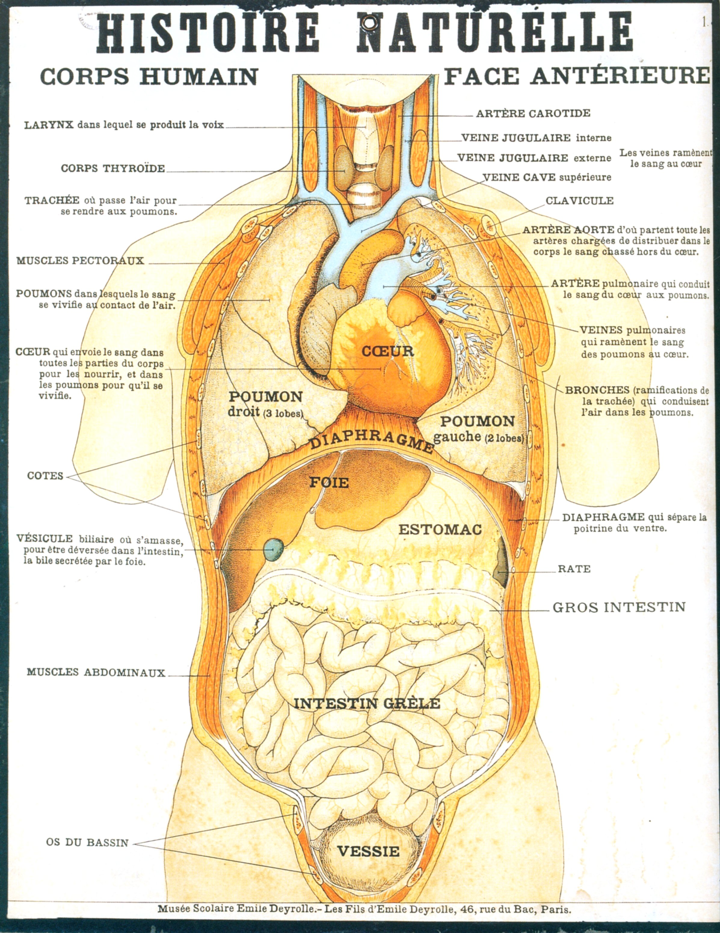 Anatomie du corps humain related keywords suggestions for Interieur du corps humain image