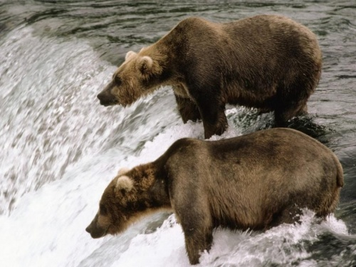Хозяин Тайги - Русский Медведь (70 фото)