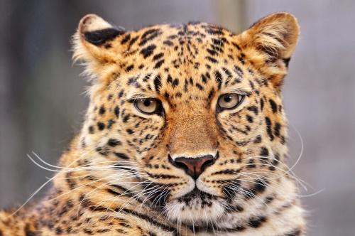 Леопарды / Leopards by Tambako the Jaguar (32 фото)