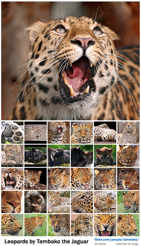 Леопарды / Leopards by Tambako the Jaguar (32 фото)