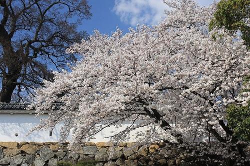 http://cp12.nevsepic.com.ua/79-2/thumbs/1355609381-800px-himeji_cherry_blossoms_1.jpg