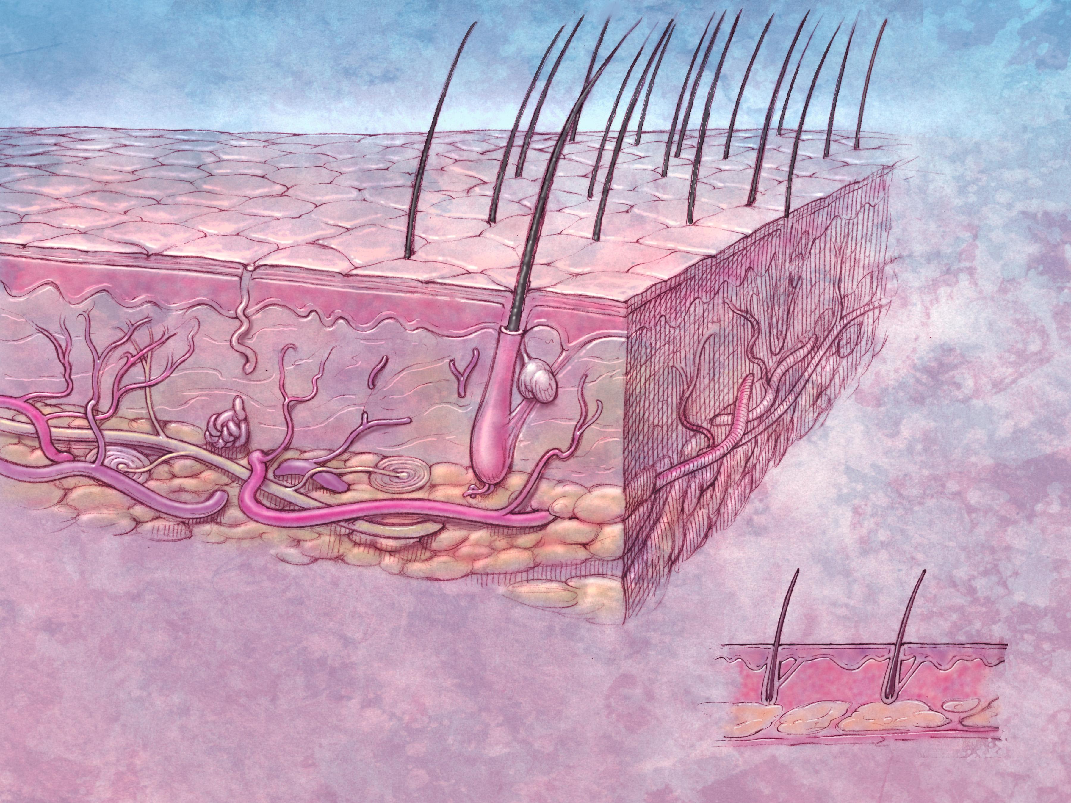 структура волосяного фолликула картинки