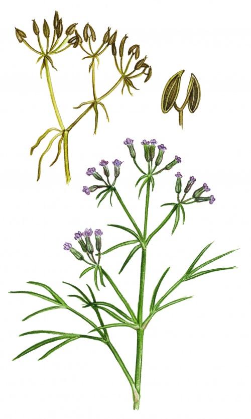 Рисунки растений и трав от ArtVille часть IL076. Herbs (60 работ)