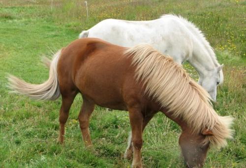Лошади Исландии (102 фото)