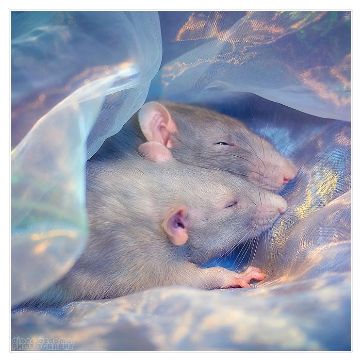 женские любимая крыса картинки проблема, отправим