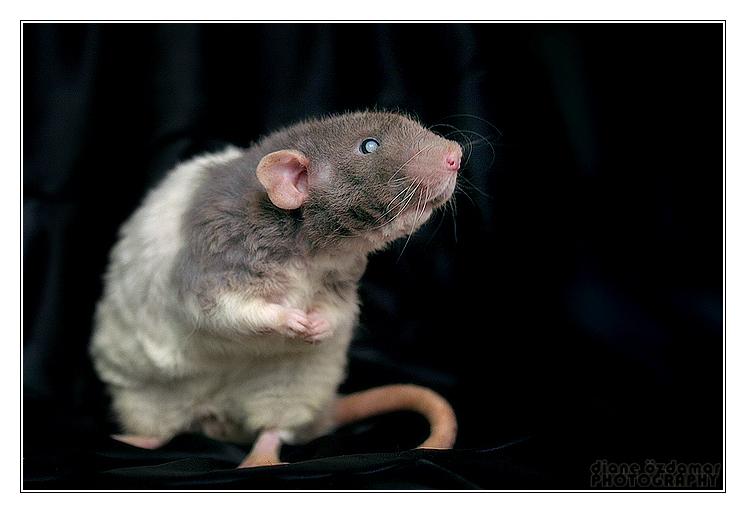 время картинка про крыс со смыслом игра как