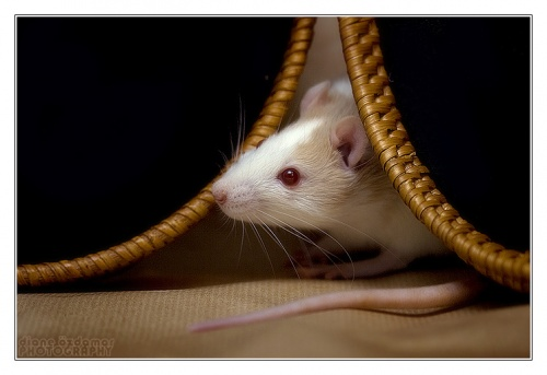 Гламурные фотографии мышей и крыс от Дианы Оздомар (Diane Ozdamar) (152 фото)