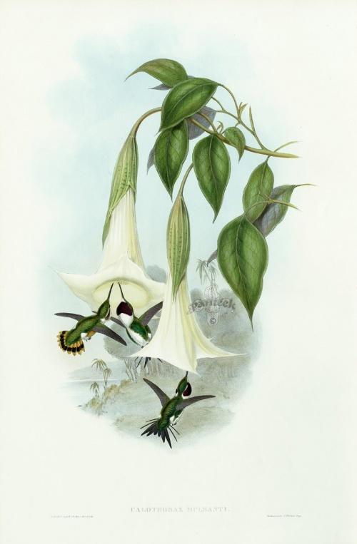 Художник John Gould Hummingbird (22 работ)