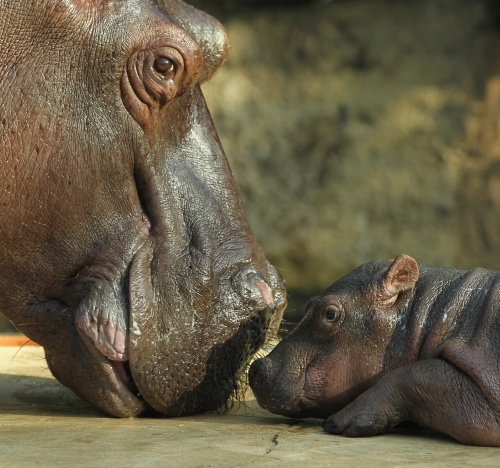 Baby Hippopotamus Presentation At Berlin Zoo (10 фото)