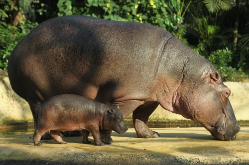 Baby Hippopotamus Presentation At Berlin Zoo (10 ����)