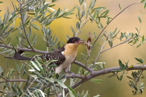 Silver-beaked Tanager (60 фото)