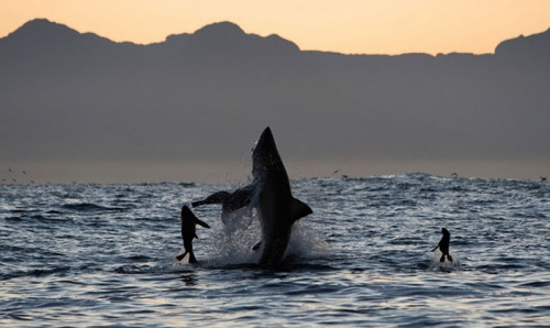 Акулы (19 фото)