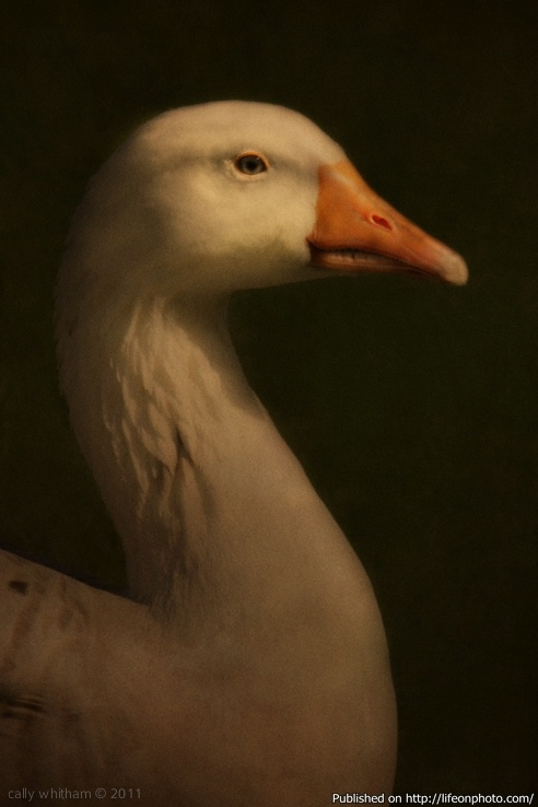 Портреты животных. Фотограф Cally Whitham (41 фото)