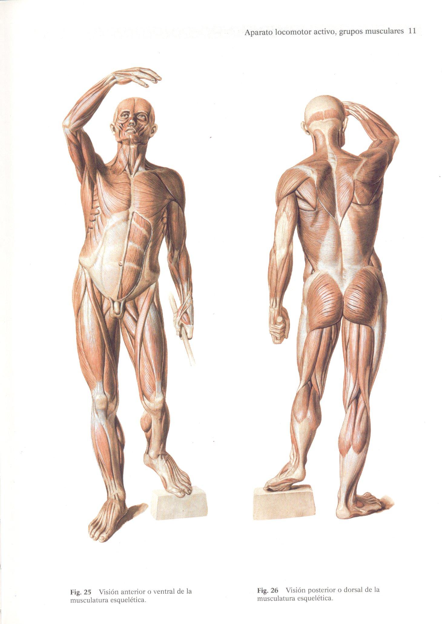 эндрю лумис andrew loomis creative illustration figure drawing worth anatomy for artists